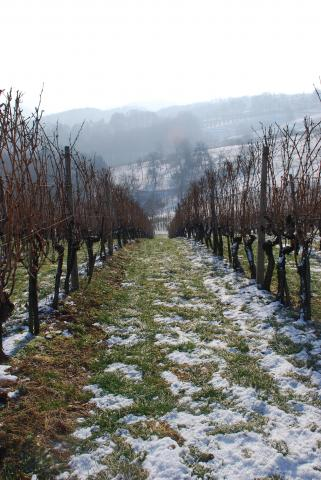 verus vineyards slovenia stajerska