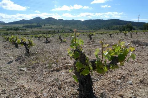 Monastrell old vines